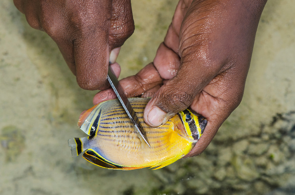 Spear fishing catch of tiny reef fish for consumption<br /> Biak Island<br /> West Papua<br /> Indonesia