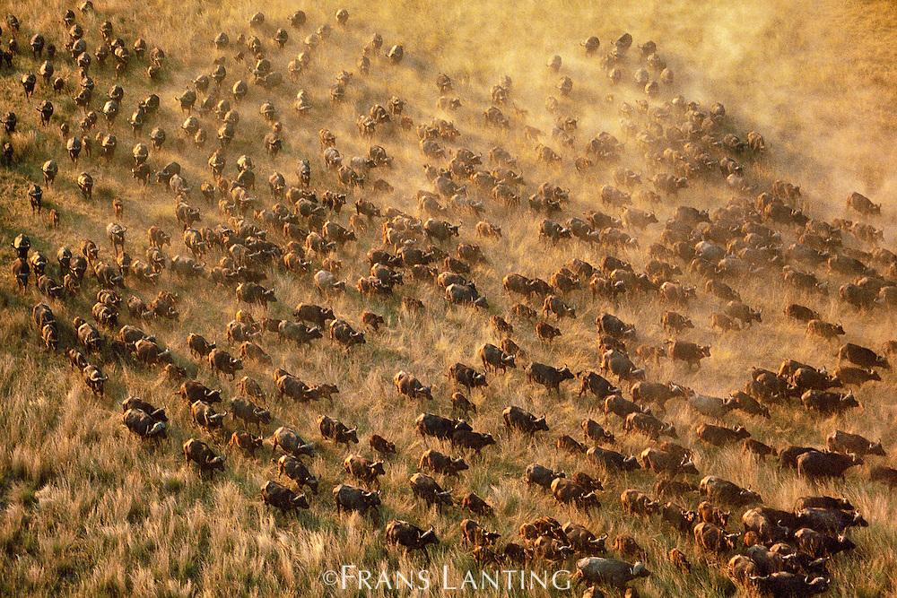 Cape buffalo herd (aerial), Syncerus caffer caffer, Okavango Delta, Botswana