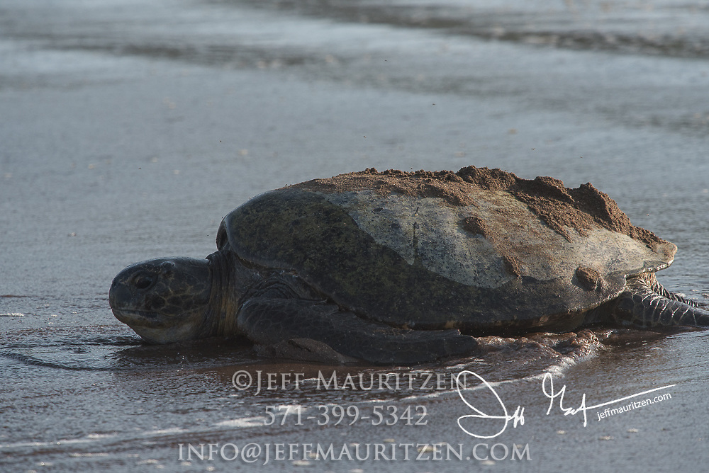 A Galapagos green sea turtle makes it way back to the ocean after laying its eggs on a sandy beach of Santiago island, Galapagos islands.
