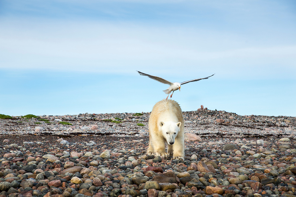 Canada, Nunavut Territory, Arviat, Herring Gull (Larus argentatus) attacks Polar Bear (Ursus maritimus) walking on Sentry Island along Hudson Bay
