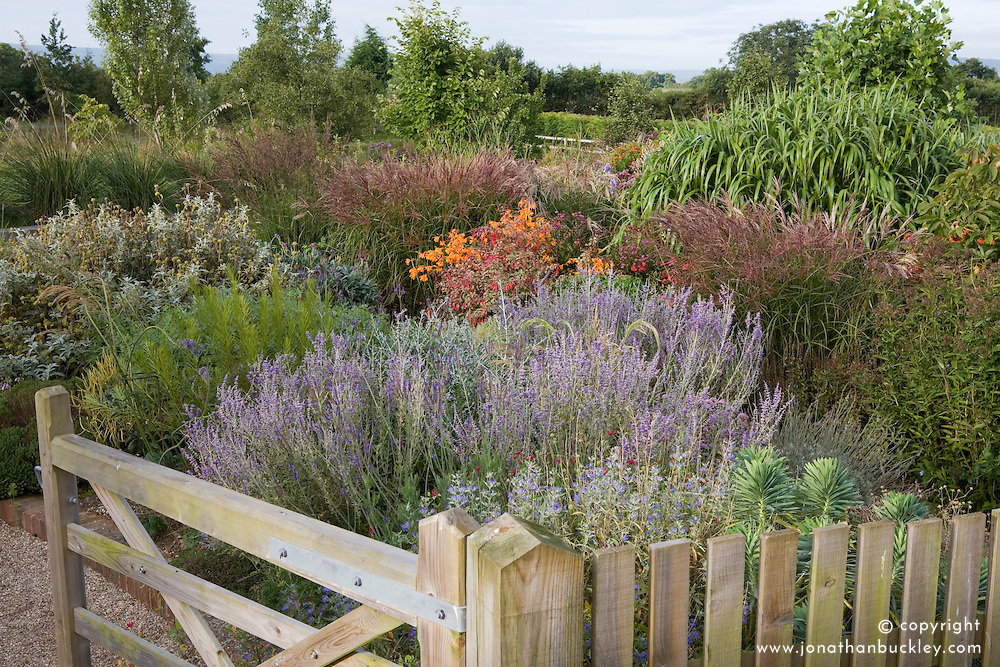 Wooden gate leading in to the garden at Marchants. Autumn borders of perovskia, miscanthus and crocosmia