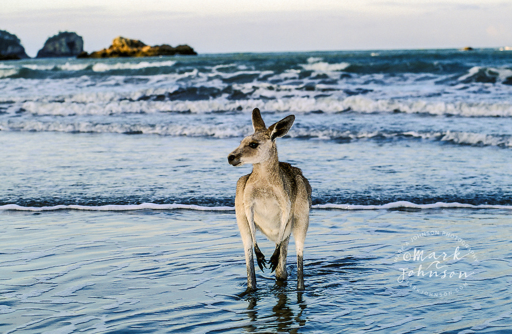 Kangaroo wading into sea, Cape Hillsborough National Park, Queensland, Australia