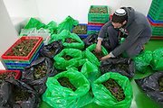A worker checks bags of marijuana flowers that have been sorted out according to strains at the government-approved medical marijuana farm hidden in the Galilee hills in Safed in northern Israel January 1,2013. Many of the plants are named after patients who died from their illnesses such as cancer...The Tikun Olam  company that runs the farm  is the largest in Israel and serves thousands of patients who have been issued special licenses  from the Ministry of Health to receive medical marijuana ...Researchers in israeli claim that cannabis can not only help bring relief to cancer patients in  pain ,  lower high blood pressure,improve appetite , to even helping with the recovery from a heart attack or post traumatic stress disorder ...Tikun Olam developed a new strain from cross breeding which has removed nearly all the THC (tetrahydrocannabinol) which is what makes one feel stoned or high. This new strain has a high concentration level of cannabidiol (CBD) which has  anti-inflammatory and anti-anxiety agents. This new strain is attractive to patients who  old or are children or work and sensitive to THC...The company produces not only the flowers and ready rolled cannabis cigarettes but also cannabis-laced chocolates, cookies, honey, toffee, ointments, gum and cakes ...Marijuana is illegal in Israel but there are over 10,000 Israelis taking medical marijuana to treat a range of illnesses from Cancer, Parkinson's disease to post traumatic stress disorder .(Photo by Heidi Levine/Sipa Press)..