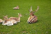 Fallow deer in small urban park, Maastricht, Limburg province, Netherlands,