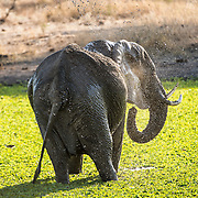 An elephants stands in a small reed-covered lake spraying itself with water at Tarangire National Park in northern Tanzania not far from Ngorongoro Crater and the Serengeti.