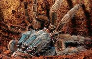 DEU, Deutschland: Spinnen, Vogelspinne bei der Häutung, schon fast ganz aus der alten Haut, der Exuvie, geschlüpft, sie besitzt ein sie schützendes Außenskelett aus Chitin, das jedoch nicht in der Lage ist zu wachsen, um wachsen zu können muss sich die Spinne von Zeit zu Zeit häuten, Giessen, Hessen | DEU, Germany: Spiders, Tarantula, bird spider moulting, already yet slipped form old skin, the so called exuvia, its having a protecting exoskeleton which is chitin-based, because of an exoskeleton isn?t able to grow, so the spider have to moulting once in a while, Giessen, Hesse |