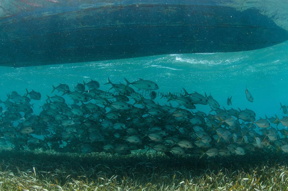 Horse-eye Jacks (Caranx latus) under boat<br /> Shark Ray Alley<br /> Hol Chan Marine Reserve<br /> Belize Barrier Reef<br /> near Ambergris Caye and Caye Caulker<br /> Belize<br /> Central America