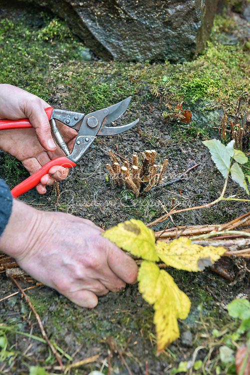 Gardener using Felco secateurs to cut back raspberry canes