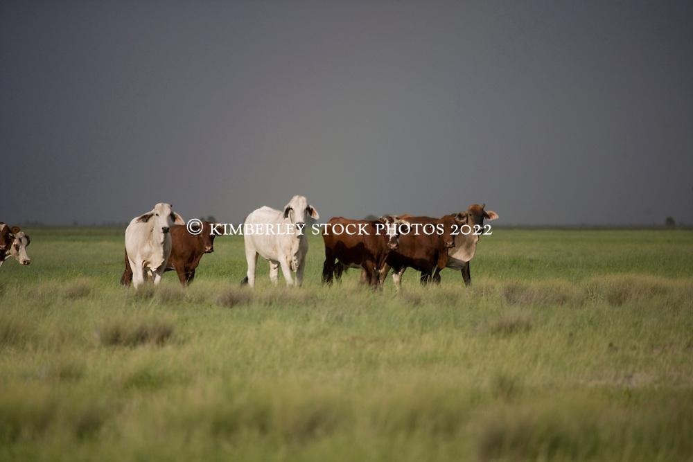 Brahman cattle on Roebuck Plains Station.