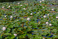 Lilies, Parsonage Pond, Sagaponack, Long Island, New York