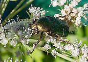 "The metallic green ""rose chafer"" (or goldsmith beetle, Cetonia aurata) reaches 20 mm long and has a distinct V-shaped scutellum (the small area between wing cases). Reflection of circularly polarised light makes the beetle appear metallic green in color. Plitvice Lakes National Park (Nacionalni park Plitvicka jezera, in Croatia, Europe) was founded in 1949 and is honored by UNESCO as World Heritage Site."