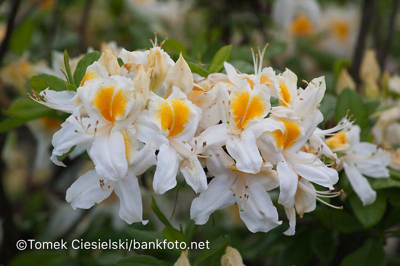 Rhododendron `Saint Ruan`