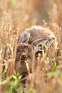 European Hare (Lepus europaeus) adult feeding in stubble field, Norfolk, UK.