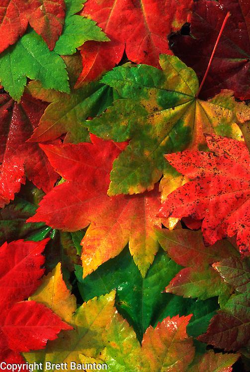 Vine Maple Leaves, Fall, Mt. Baker National Forest