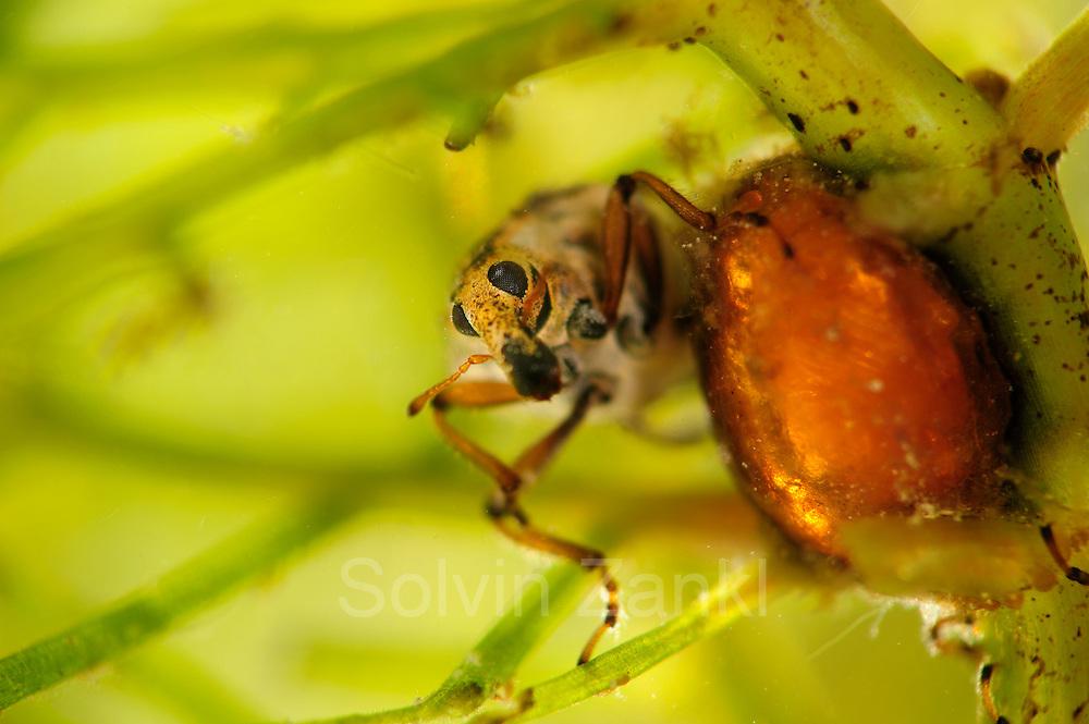 [captive] Beetle pupa and beetle Milfoil weevil (Eubrychius velutus), here on water milfoil (Myriophyllum sp.),  is an aquatic weevil. The adults live fully submerged and take up oxygen from a layer of air around the body. Westensee, Germany | Die Pupe und der Käfer des Tausendblatt-Rüsselkäfer (Eubrychius velutus). Er ist ein guter Schwimmer und lebt komplett unter Wasser. Meist findet man ihn zwischen den den fiedrigen Blättern des Tausendblatts.