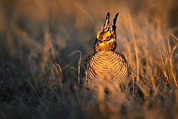 A male lesser prairie-chicken (Tympanuchus pallidicinctus) attempts to entice female lesser prairie-chickens at sunrise with a showy mating display on a lek near the Smoky Valley Ranch in Logan County, Kansas. Prairie chickens return to the same lek year after year to mate. Males will battle each other to have the prime spot on a lek.<br /> <br /> Lesser prairie-chickens are found in Colorado, Kansas, New Mexico, Oklahoma and Texas with about half of the current population living in western Kansas.<br /> <br /> Males have bright yellow eye-combs. During courtship on a lek, males inflate their red esophageal air sacs and hold erect pinnae on each side of the neck. They rapidly stomp their feet making a drumming-like sound. The booming call of lesser-prairie chickens, amplified by the air sacs, can be heard as far as a mile away.