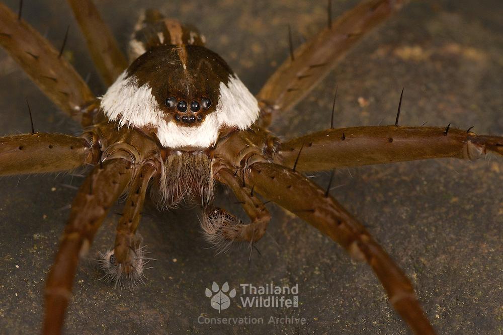 A Fishing Spider,  Dolomedes sp. Kaeng Krachan National Park, Thailand.