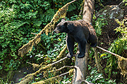 An adult American black bear walks down a fallen tree at Anan Creek in the Tongass National Forest, Alaska. Anan Creek is one of the most prolific salmon runs in Alaska and dozens of black and brown bears gather yearly to feast on the spawning salmon.