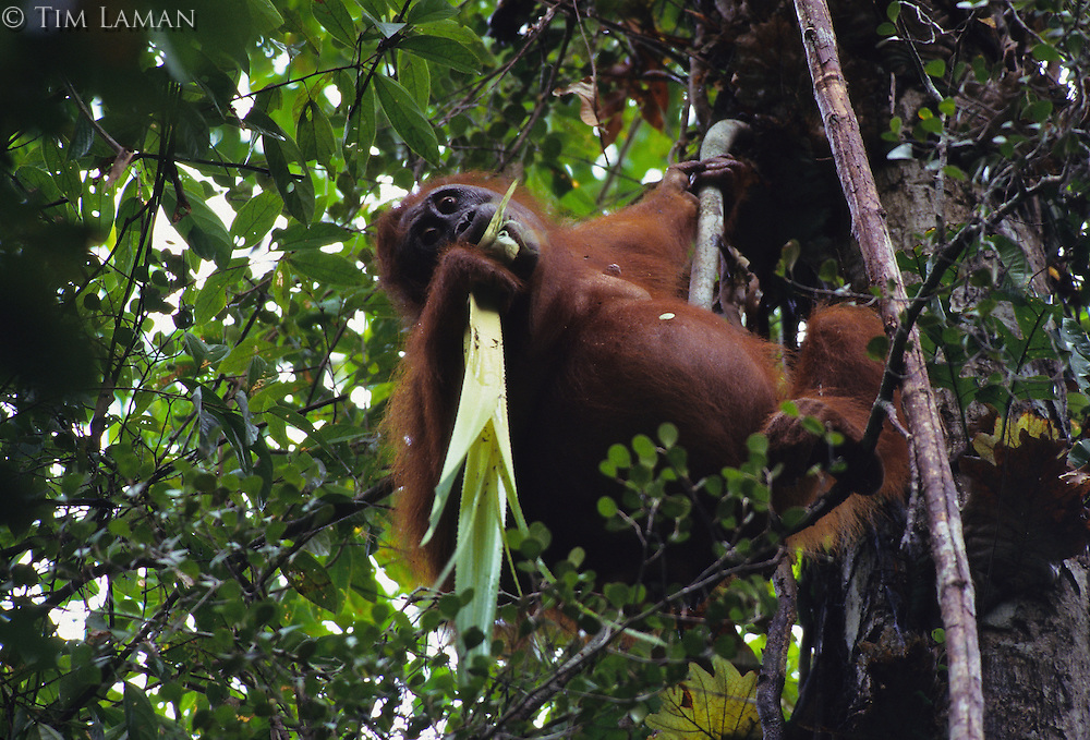 A female Bornean Orangutan (Pongo pygmaeus) named Beth munches on pandanus shoots.