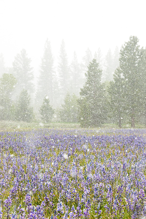 """Snowy Sagehen Meadows 3"" - This field of Camas wildflowers was photographed during a snow storm at Sagehen Meadows, near Truckee, California."
