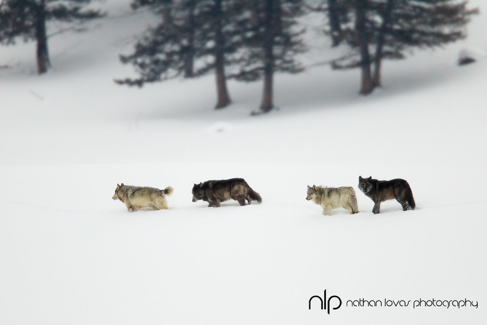 Wolf pack in snow; Yellowstone NP in wild.