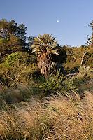 PALMERAS CARANDAY (Trithrinax campestris - fam. Palmae) Y LUNA CRECIENTE, CAMINO REAL, PROV. DE CORDOBA, ARGENTINA