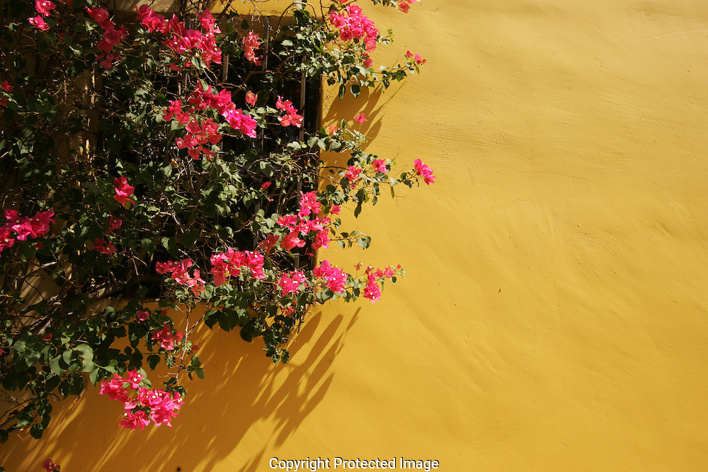 Pink flowers growing against a yellow stucco wall.