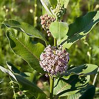 Asclepias incarnata, swamp milkweed