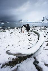 Gentoo Penguin (Pygoscelis papua) in Antarctica