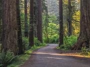 Cal Barrel Road, Prairie Creek Redwoods State Park, California.