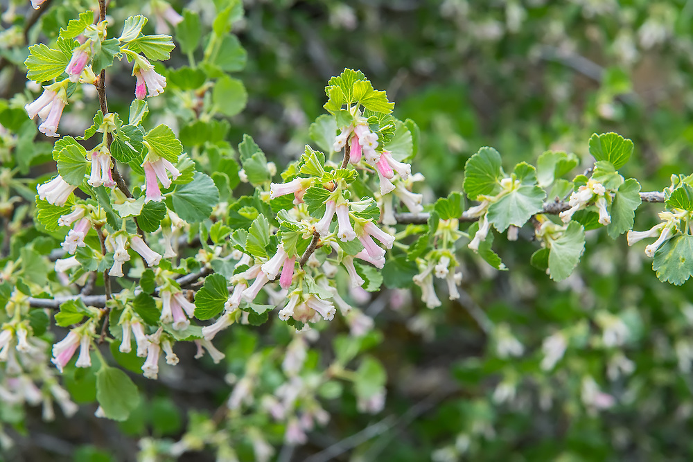 Wax currants in full flower in Cowiche Canyon in Yakima, WA. While these are particularly beautiful, the fruits may cause a burning sensation when eaten. These are often found growing with the closely-related golden currant which is not only edible, but delicious!