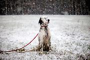 """English Setter  """"Rudy"""" sitzt am 17.12. 2017  im Feld von Lysa nad Labem, (Tschechische Republik) im Schnee.  Rudy wurde Anfang Januar 2017 geboren und ist vor einiger Zeit zu seiner neuen Familie umgezogen."""