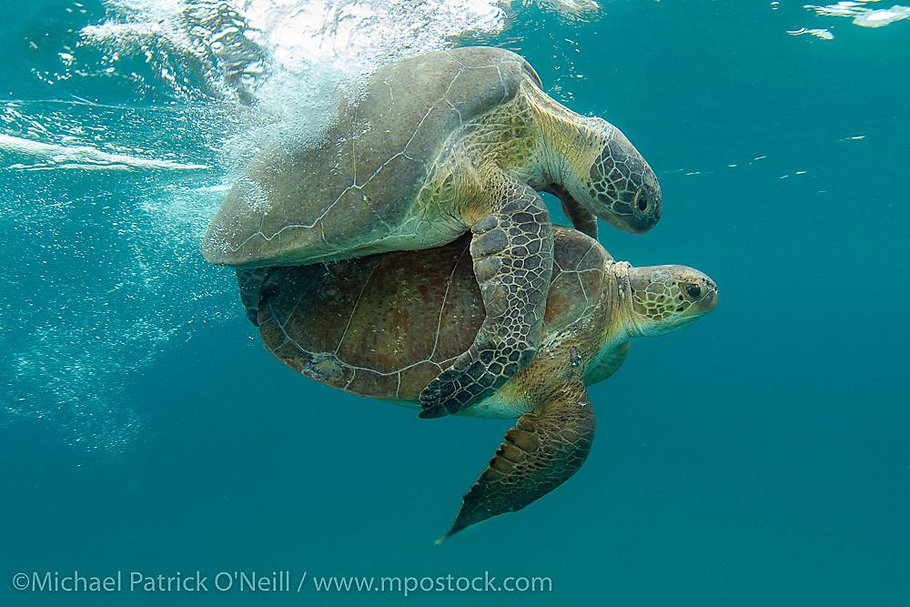 Green Turtles (Chelonia mydas) mating in Juno Beach, FL.