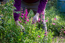 Deadheading penstemons with secateurs