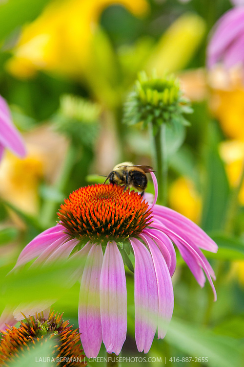 Bumblebee on purple cone flower (Echinacea purpurea)