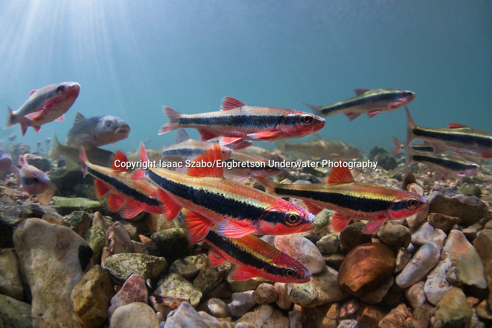 Cardinal Shiners<br />