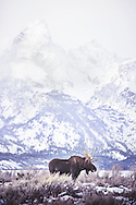 A moose stands in the sage brush with the Grand Tetons mountain range in the background.