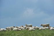 24/05/15 - BUSSET - ALLIER - FRANCE - Troupeau de charolaises en paturage de printemps - Photo Jerome CHABANNE