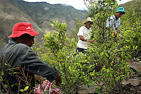 Workers pick coca leaves in El Rosario, Nariño, in southwestern Colombia, on July 15, 2008. Nariño is a one of Colombia's most troubled departments; with wide spread coca cultivation and the presence of illegal armed groups vying for control of the coca business. (Photo/Scott Dalton)