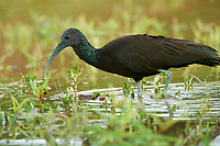 Green Ibis (Mesembrinibis cayennensis), Araras Ecolodge,  Mato Grosso, Brazil (Photo: Peter Llewellyn)