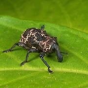 Curculionidae sp. weevil beetle in Huai Kha Kaeng Wildlife Sanctuary, Thailand