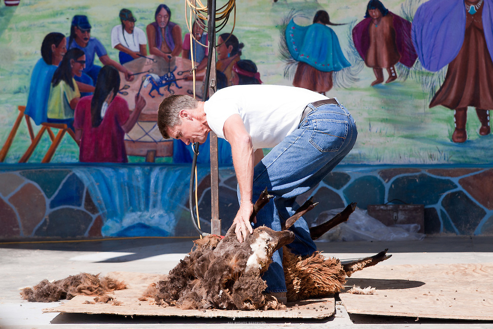 An unwilling (but rather quiescent) sheep is shorn before the crowd at the Taos Knitting Festival.