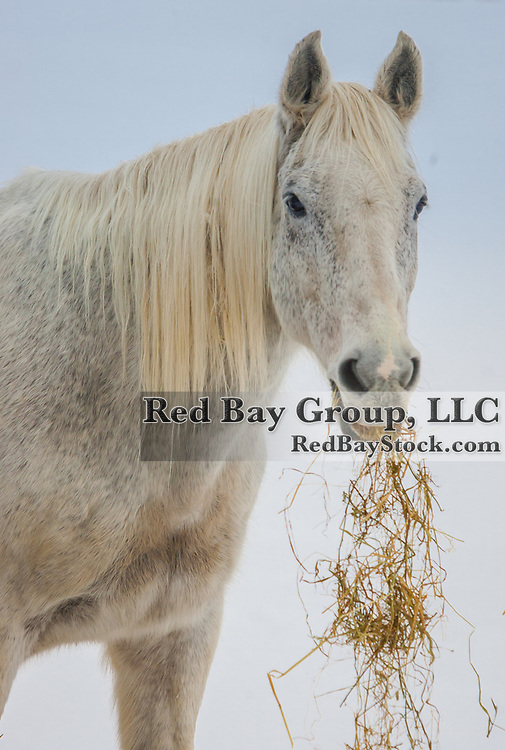 Grey horse eating hay.