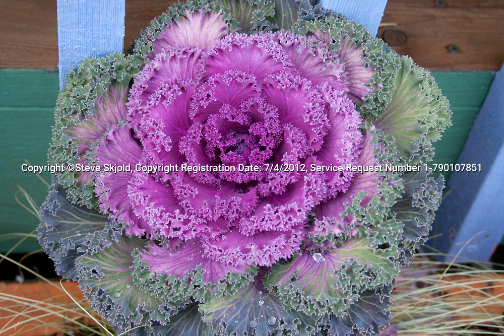 Ornamental flowering cabbage plant at the Redbery bookstore and boutique. Cable Wisconsin WI USA