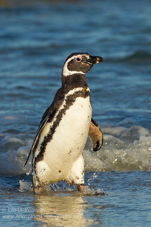 A magellanic penguin, in the last light  of day, makes its way from the surf to the beach