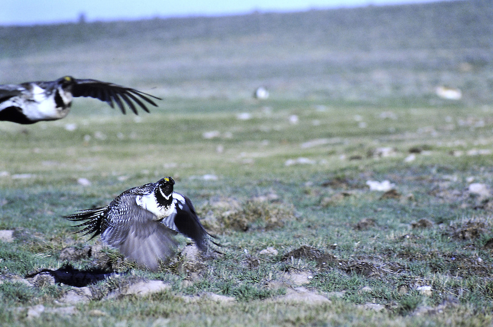 A raptor flushes the grouse in mid-morning. Predation. Lek breeding. Colorado