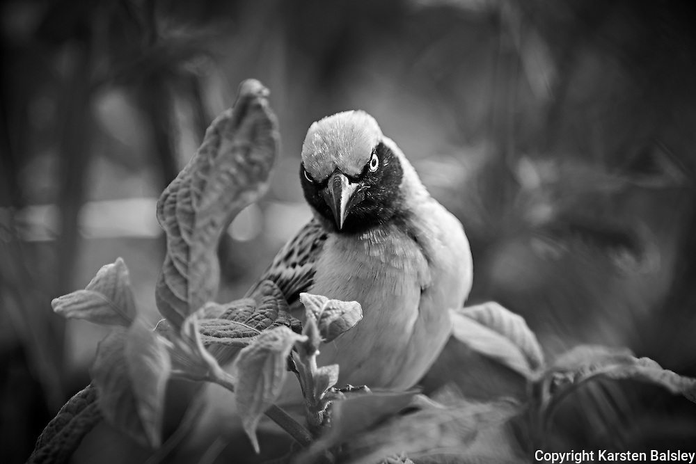 &ldquo;Weaver Bird&rdquo;                                                   Tanzania<br />   A beautiful bird in a beautiful place.