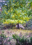 Deciduous tree soft focus blurry leaves autumn landscape, Mont Lozere, Cevennes national park, France