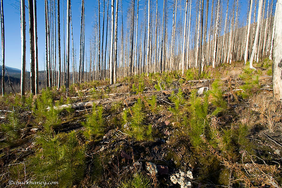 Tree Saplings Sprout up after Forest Fire in the Flathead National Forest in Montana