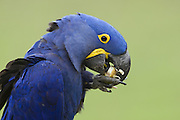 Hyacinth Macaw<br /> Anadorhynchus hyacinthinus<br /> Eating palm nut<br /> Pantanal, Brazil